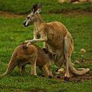 Kangaroo Nursing Its Joey Poster