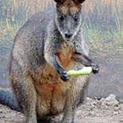 kangaroo Snack Poster
