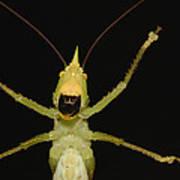 Katydid Underside Ecuador Poster