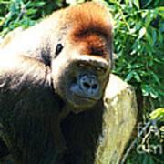Kc Gorilla-3 Poster