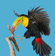 Keel-billed Toucan About To Land Poster