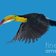 Keel-billed Toucan Poster