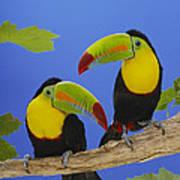 Keel-billed Toucan Pair Poster