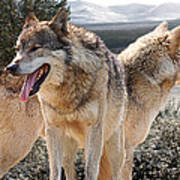 Keeping Watch - Pair Of Wolves Poster