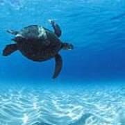 Keiki Turtle Poster