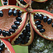 Kelumpang Sarawak Fruit Seeds Sepilok Poster