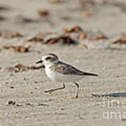 Kentish Plover Poster