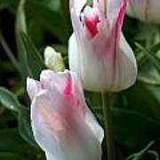 Keukenhof Tulip Buds Poster