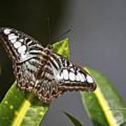 Key West Butterfly Conservatory - In Brown And White Poster