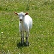 Kid Goat Poster