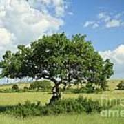 Kigelia Pinnata Tree Poster
