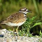 Killdeer Poster