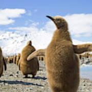 King Penguin Chicks  Poster