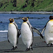 King Penguin Trio On Shoreline Poster