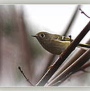 King - Ruby Crowned Kinglet - Bird Poster