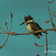 Kingfisher On Limb Poster
