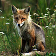 Kit Red Fox Poster