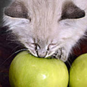 Kitten And An Apple Poster