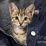 Kitten In Jean Jacket Poster
