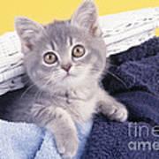 Kitten In Laundry Poster