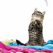 Kitten Playing With String Poster