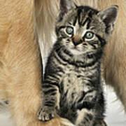 Kitten With Golden Retriever Poster