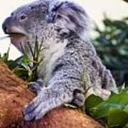 Koala Eating In A Tree Poster