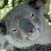 Koala Face Poster