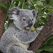 Koala Joey Australia Poster