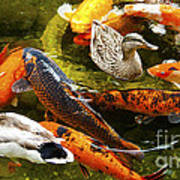 Koi Fish In Pond Swimming With Two Mallard Ducks Poster