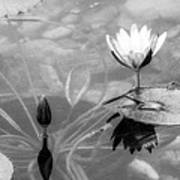 Koi Pond With Lily Pad Flower And Bud Black And White Poster