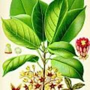 Kola Nut Poster