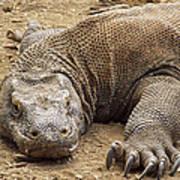 Komodo Dragon Male Basking Komodo Island Poster