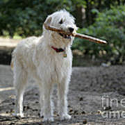 Labradoodle Holding Stick Poster