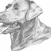 Labrador Dog Drawing Poster by Catherine Roberts