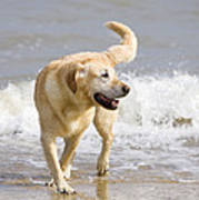 Labrador Dog Playing On Beach Poster