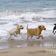 Labrador Dogs Running Poster