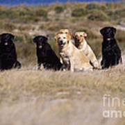 Labrador Dogs Waiting For Orders Poster by Chris Harvey