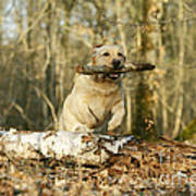 Labrador Jumping With Stick Poster