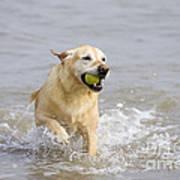 Labrador-mix Retrieving Ball Poster