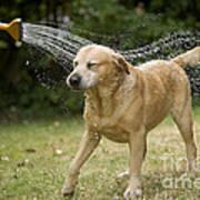 Labrador Playing In Water Poster