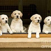 Labrador Puppies At Window Poster