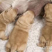 Labrador Puppies Suckling Poster