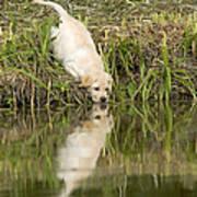 Labrador Puppy Drinking Poster