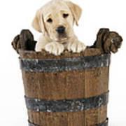 Labrador Puppy In Bucket Poster