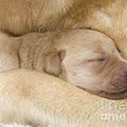 Labrador Puppy On Mother Poster