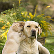 Labrador Puppy Playing With Parent Poster