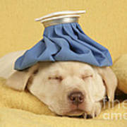 Labrador Puppy With Ice Pack Poster