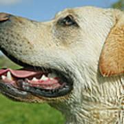 Labrador Retriever Dog Poster