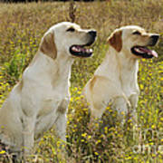 Labrador Retriever Dogs Poster